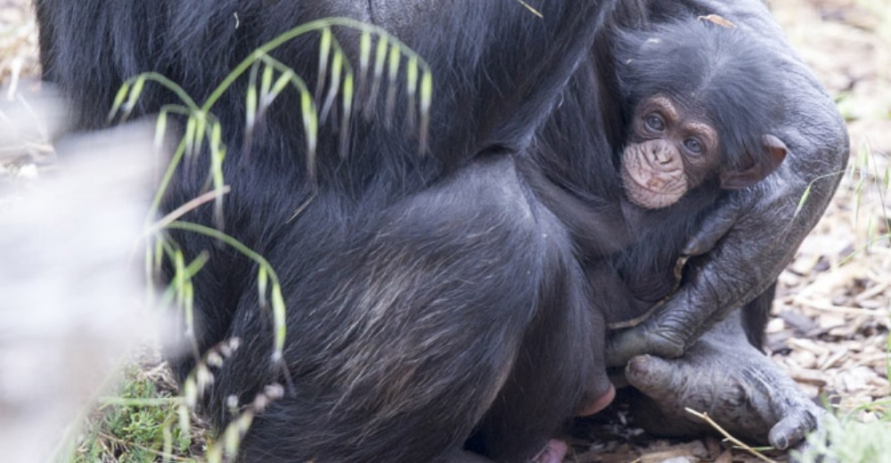 chimpance-huerfano-bebe1 - copia