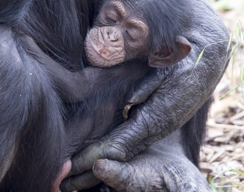 chimpance-huerfano-bebe2