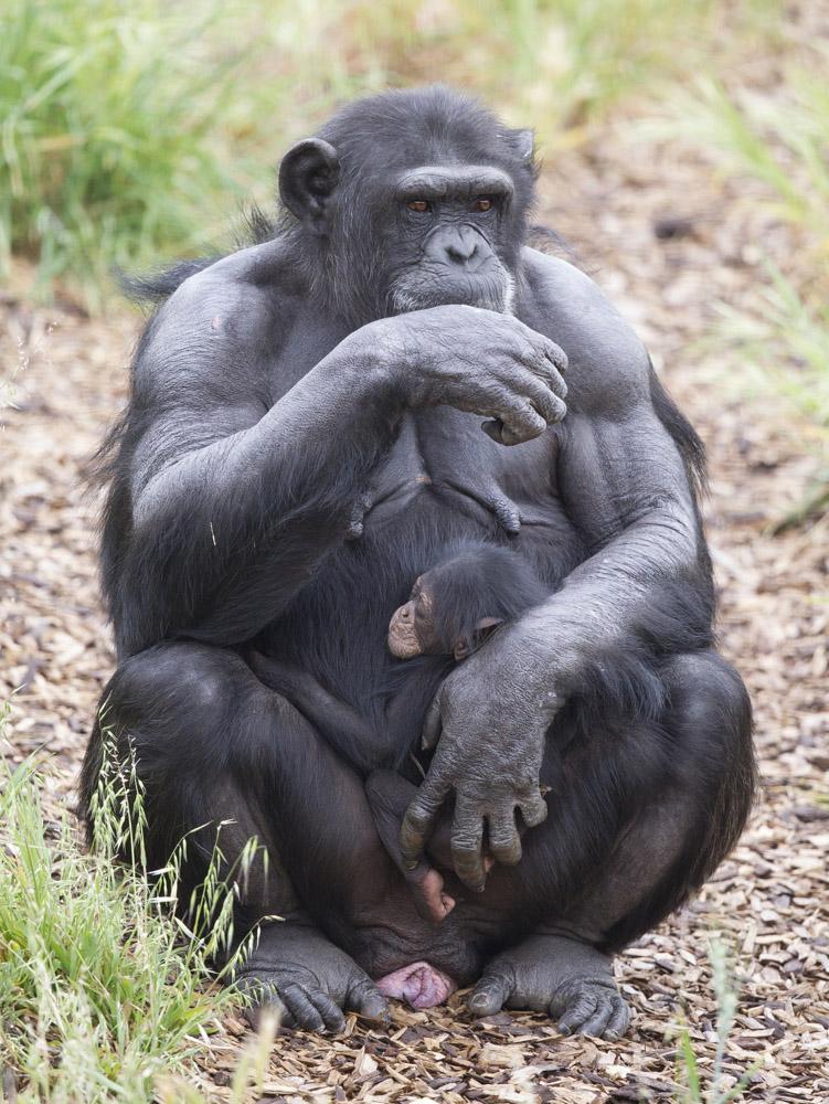 chimpance-huerfano-bebe3
