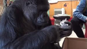 cumpleanos-gorila-koko1 - copia