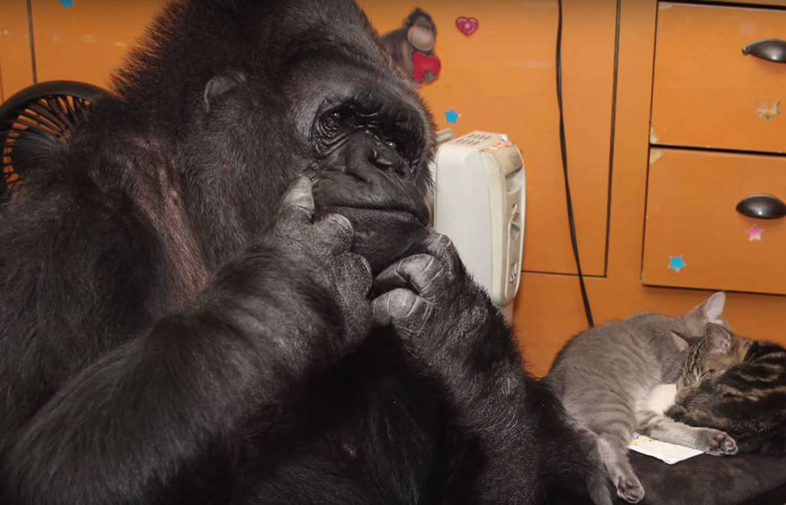 cumpleanos-gorila-koko2