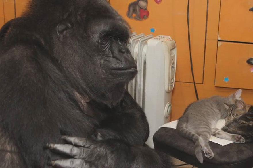 cumpleanos-gorila-koko3