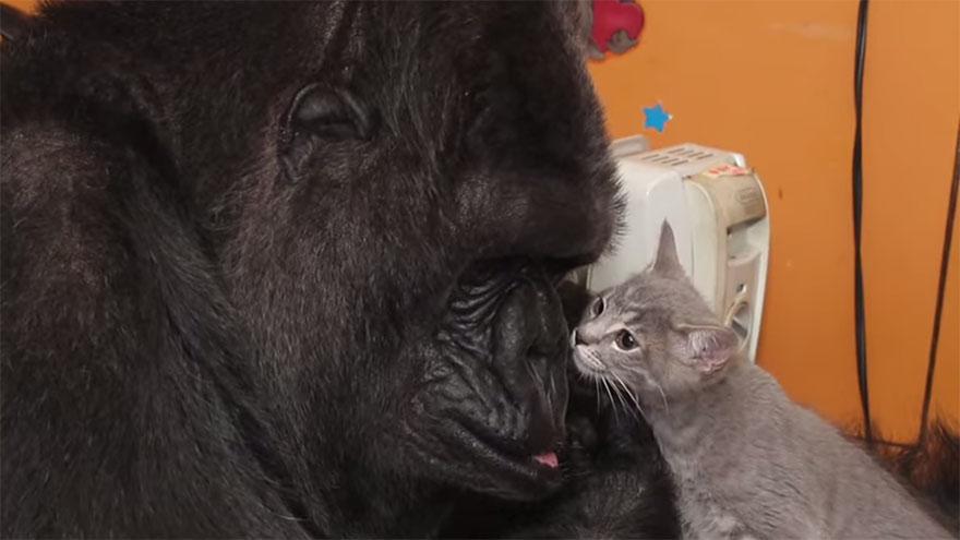 cumpleanos-gorila-koko4