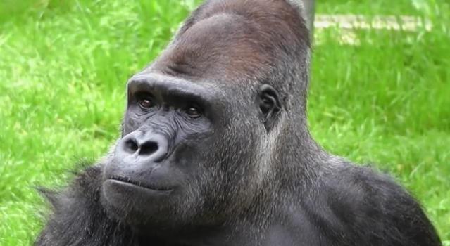cumpleanos-gorila-koko9