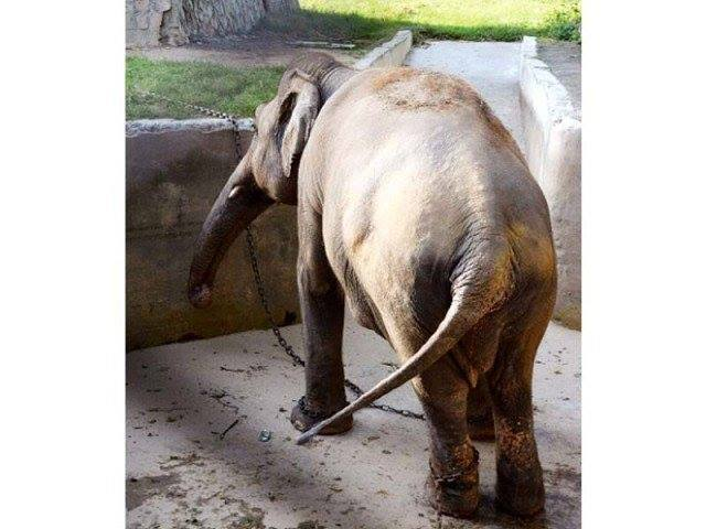 elefante-maltratado-zoologico1