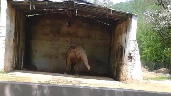 elefante-maltratado-zoologico3