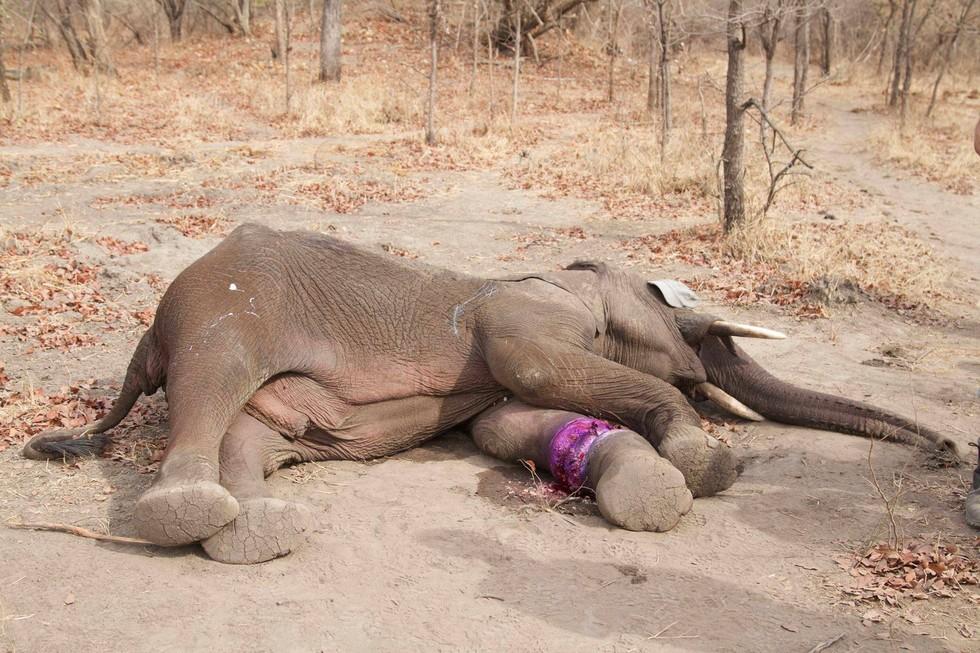 elefante-rescatado-trampa1