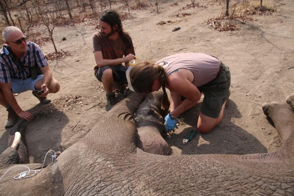 elefante-rescatado-trampa2
