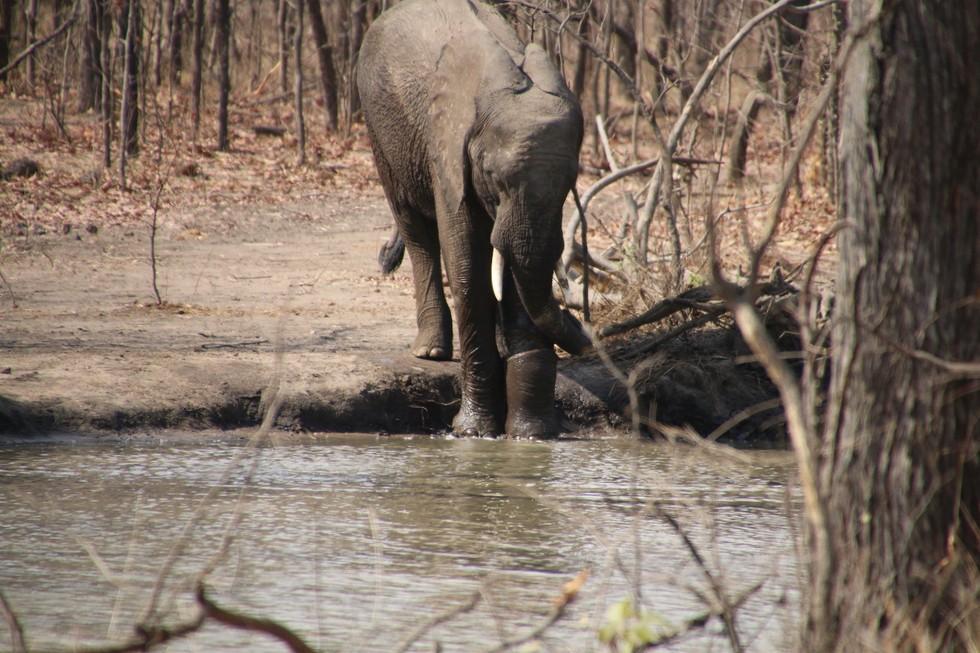 elefante-rescatado-trampa7
