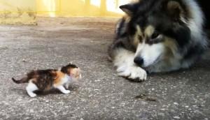 husky-gato-huerfano-juegan - copia