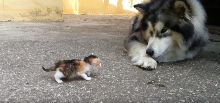 husky-gato-huerfano-juegan