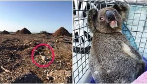 koala-habitat-destruido-