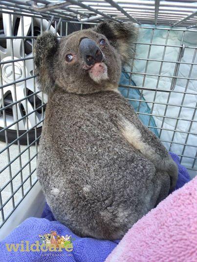 koala-habitat-destruido4