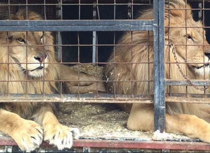leon-circo4