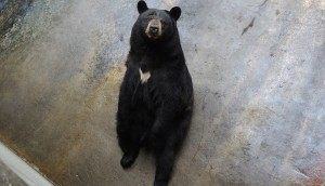 neglicencia-de-zoo-osos-en-pensilvania2 - copia