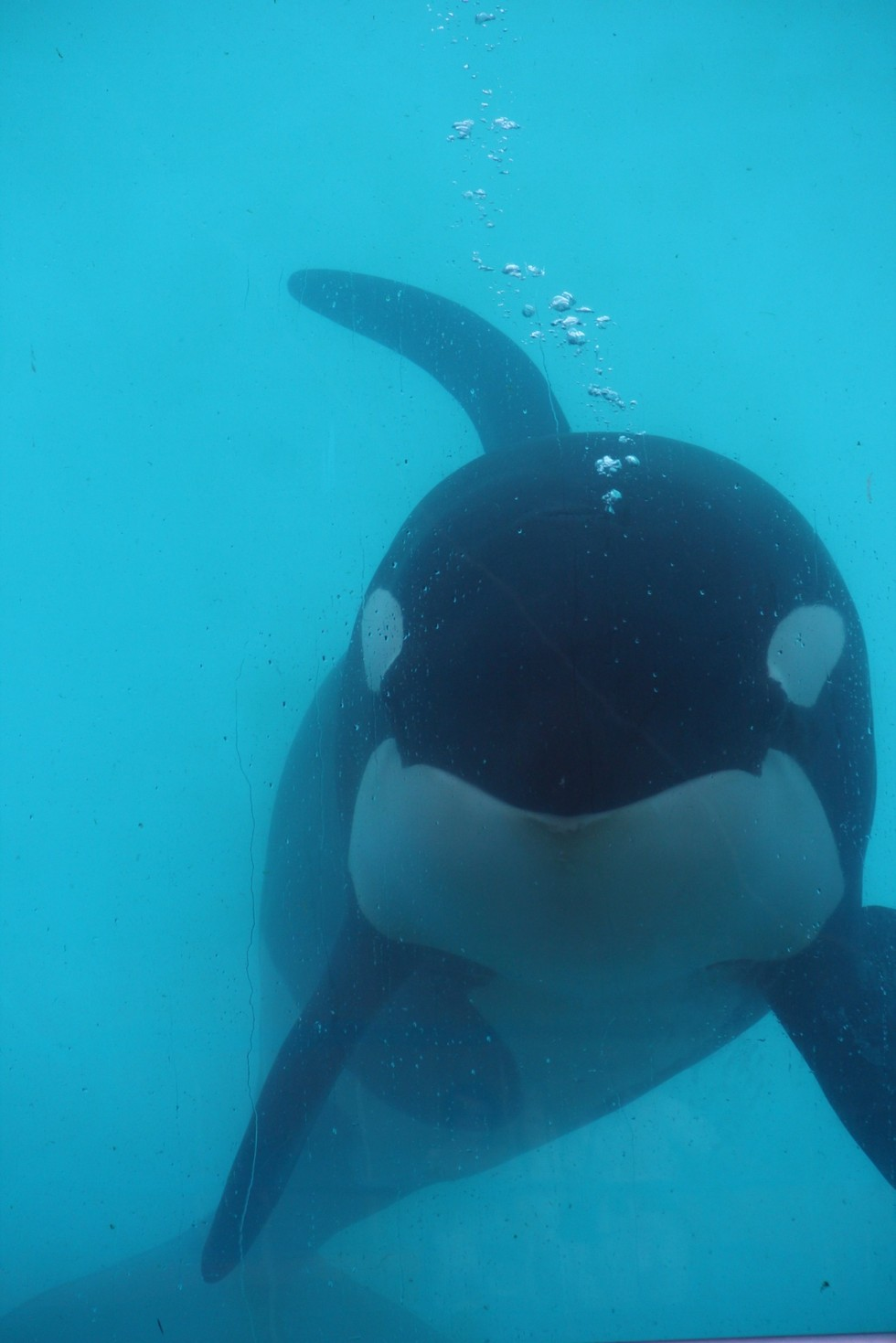 orca-valentin4