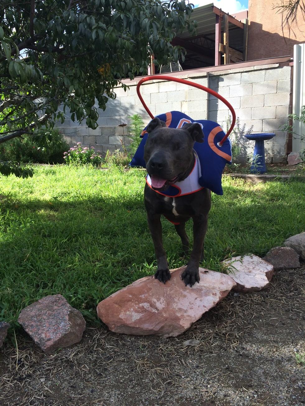 pit bull ciego adoptado 4