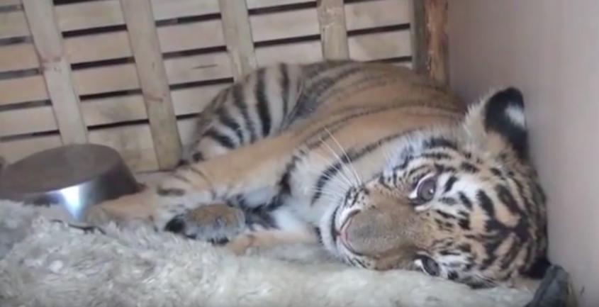 tigre rescatado rusia 2