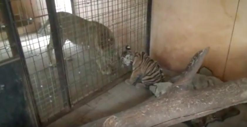 tigre rescatado rusia 6