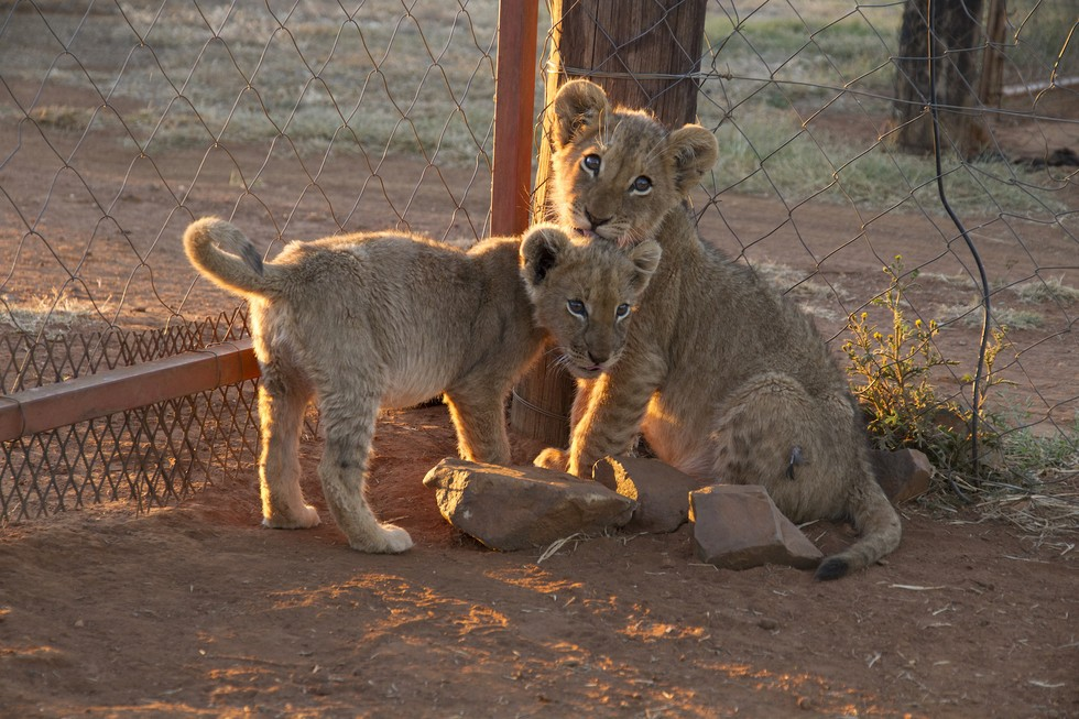 tigres-bebes-fusilados2