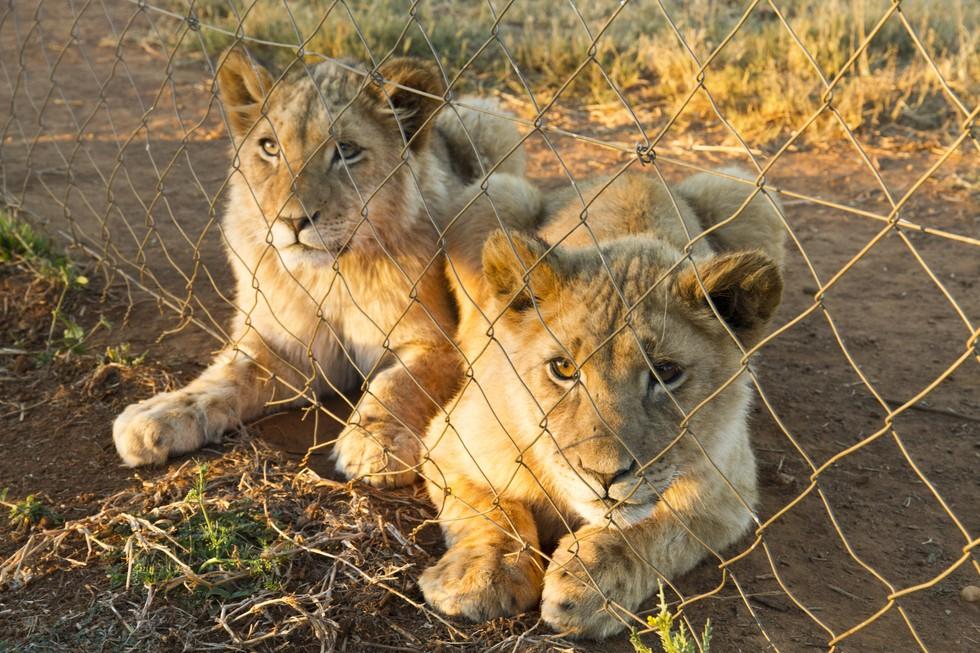 tigres-bebes-fusilados6