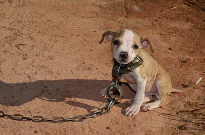 timi-rescate-pitbull1