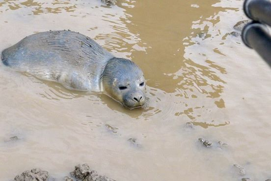 vacas rescatan focas 2