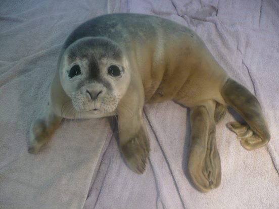 vacas rescatan focas 3