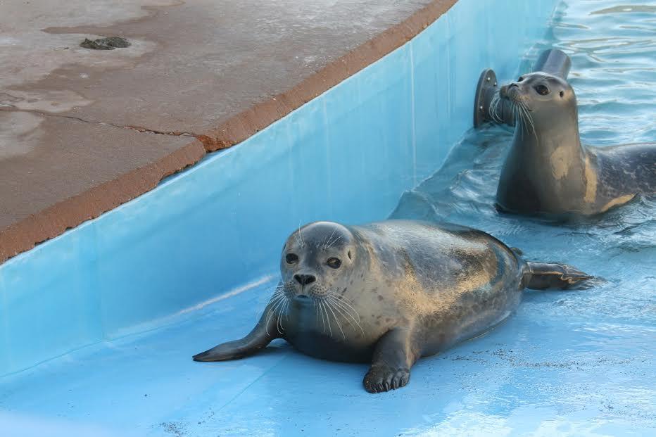 vacas rescatan focas 5