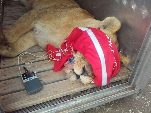 zoo deja leones 2