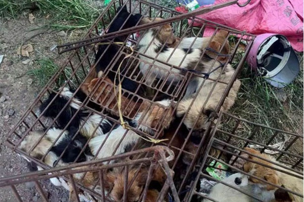 activistas rescatan perros yulin 3