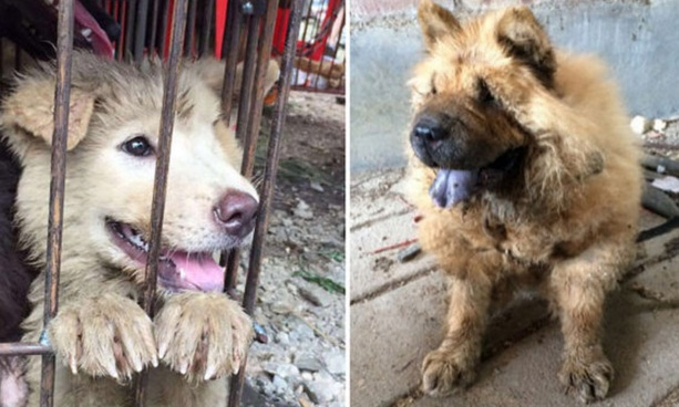 activistas rescatan perros yulin 4