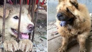 activistas rescatan perros yulin 7