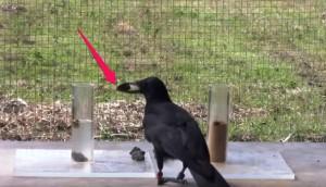 cuervo-experimento-alcance-de-agua3