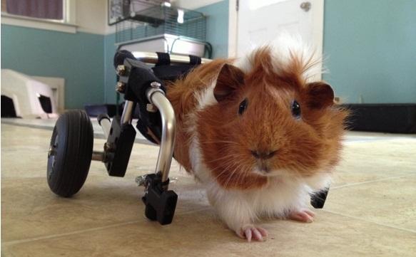 cuyo silla de ruedas 3