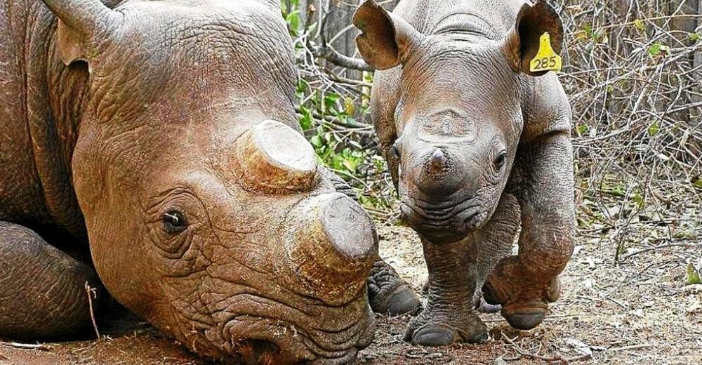 declaran-legal-venta-de-cuernos-de-rinoceronte
