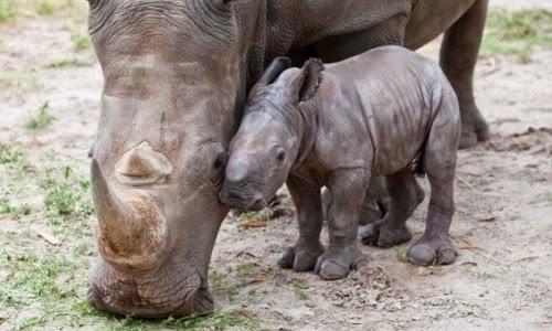 declaran-legal-venta-de-cuernos-de-rinoceronte2