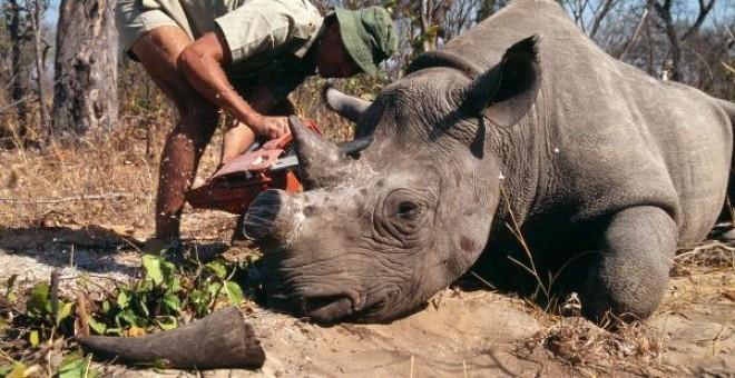 declaran-legal-venta-de-cuernos-de-rinoceronte3