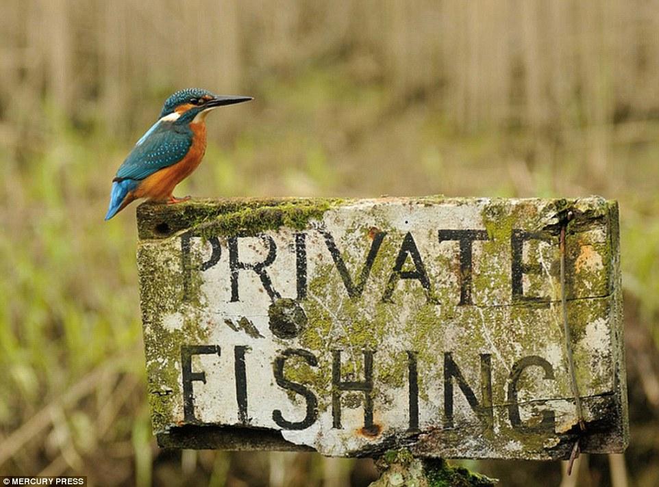 foto-perfecta-martin-pescador19