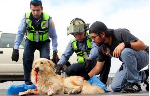 perro-arrollado-es-dado-por-muerto-pero-salvan-su-vida1