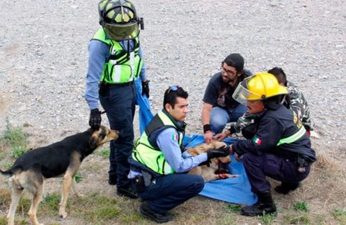perro-arrollado-es-dado-por-muerto-pero-salvan-su-vida12