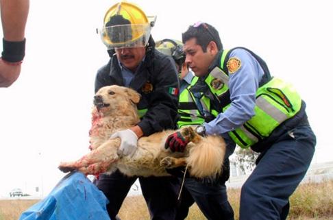 perro-arrollado-es-dado-por-muerto-pero-salvan-su-vida13