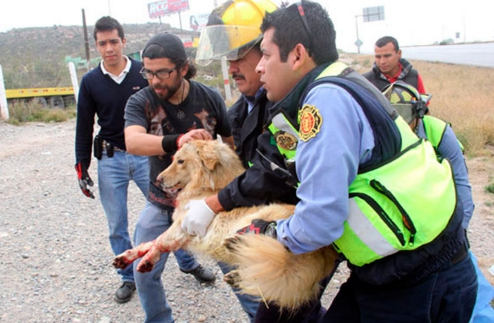perro-arrollado-es-dado-por-muerto-pero-salvan-su-vida14