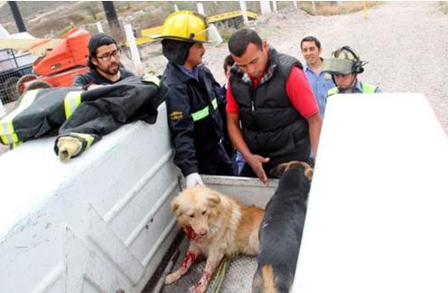 perro-arrollado-es-dado-por-muerto-pero-salvan-su-vida15