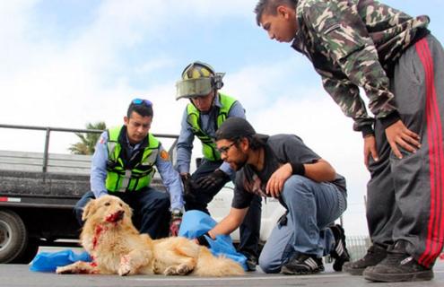perro-arrollado-es-dado-por-muerto-pero-salvan-su-vida2