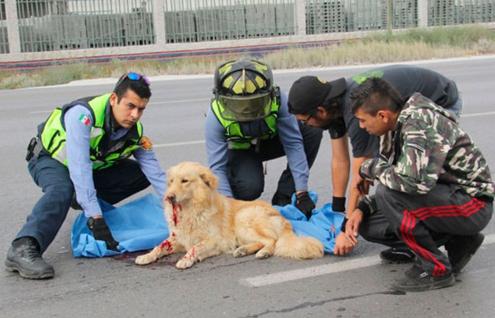 perro-arrollado-es-dado-por-muerto-pero-salvan-su-vida5