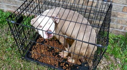 pitbull-rescatado1