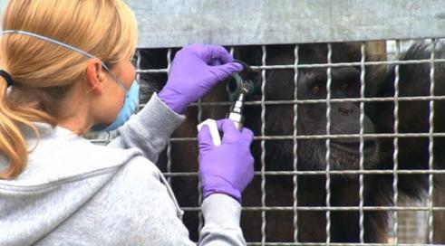 prohiben-uso-de-chimpances-para-experimentos1