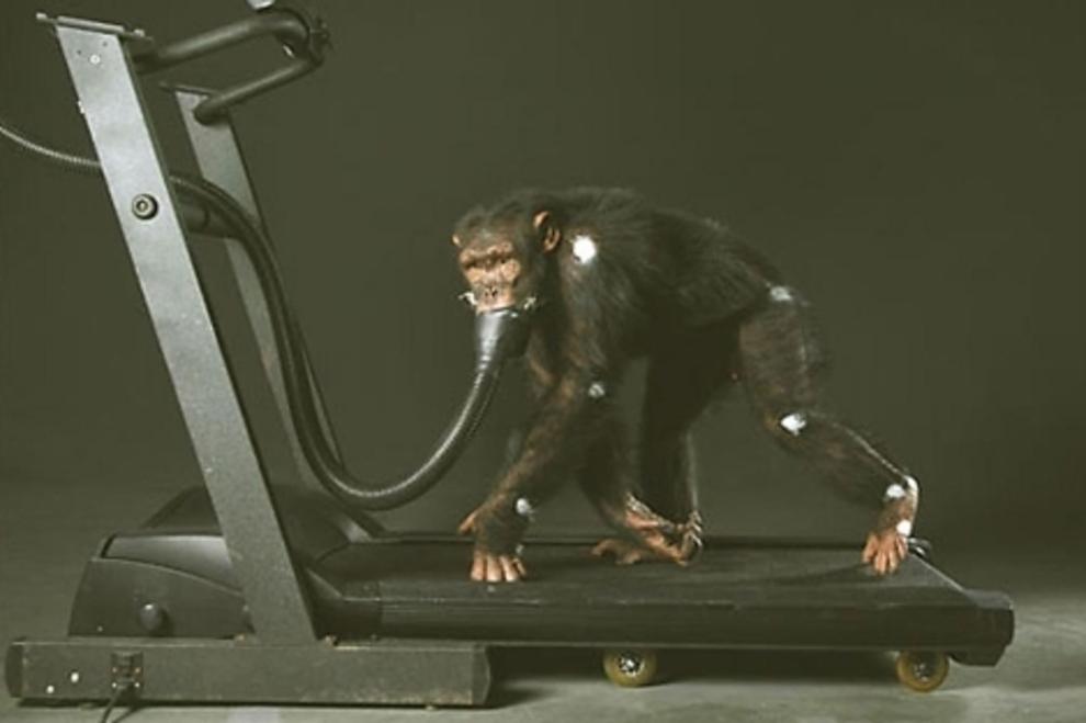 prohiben-uso-de-chimpances-para-experimentos2