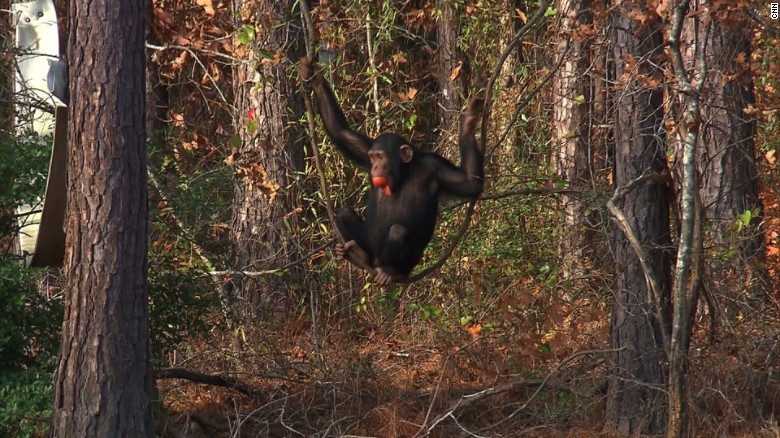 prohiben-uso-de-chimpances-para-experimentos3